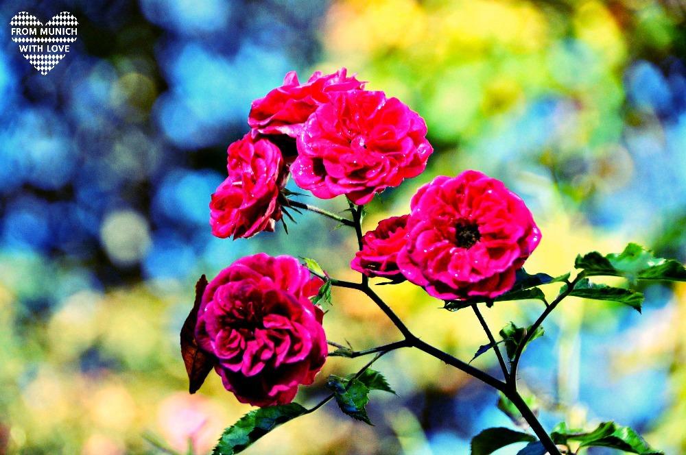 Herbst in München Rosen