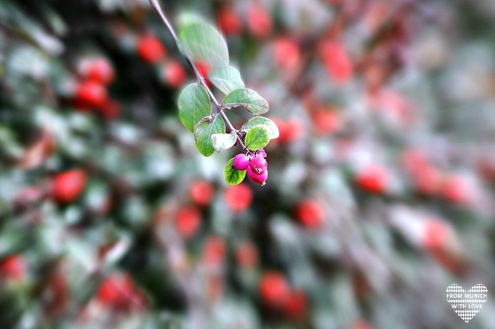 herbst rosa